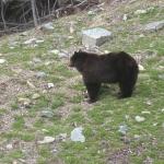 Bear 09 -3