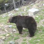 Bear 09 -1