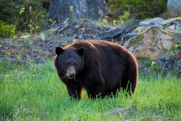 Bear grazing on grass