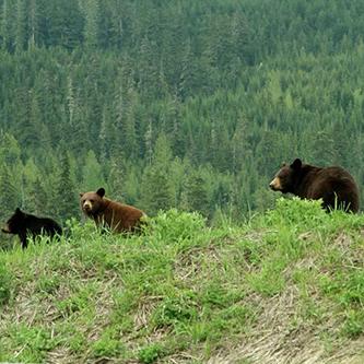 bear-whistler